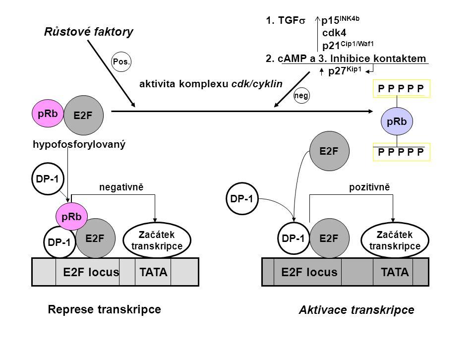 P mRNA Promotor GEN pro růstový faktor Transkripční aktivátor (blokován) Rb-protein Transkripce zahájena + ATP Cdk 4 Fosforylovaný Rb-protein se odpoutá od aktivátoru; ten se naváže na promotor