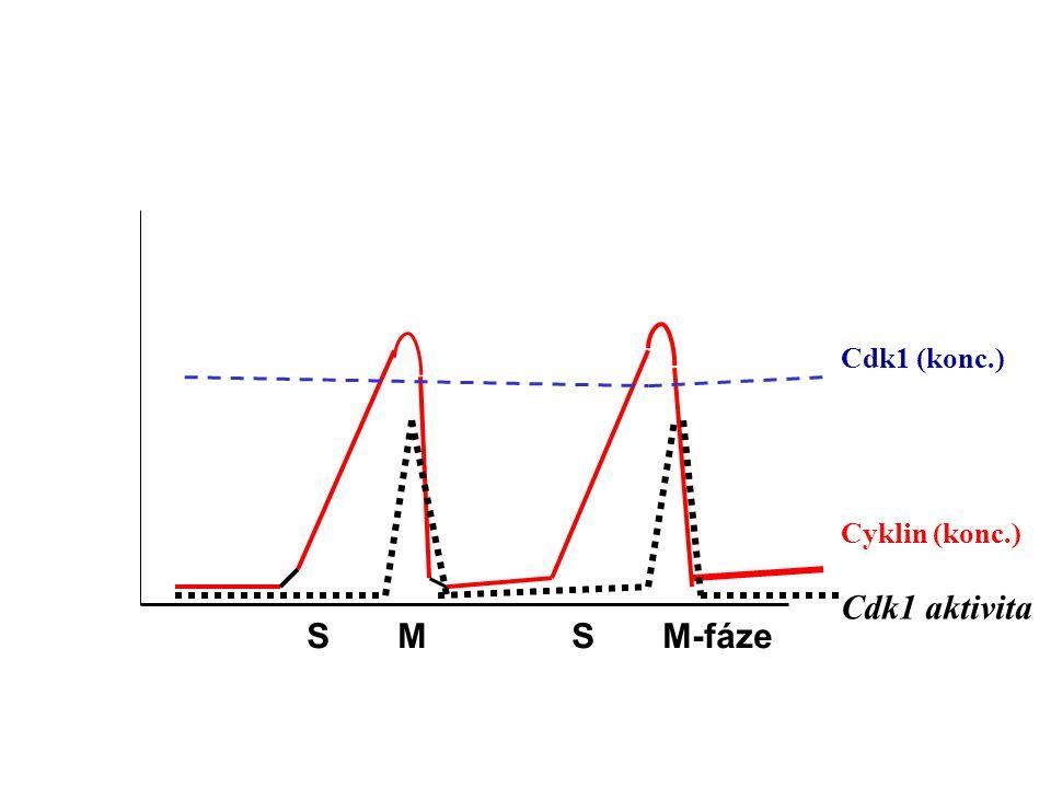 aktivita komplexu cdk/cyklin E2F locus TATA Represe transkripce Aktivace transkripce pRb E2F pRb E2F hypofosforylovaný P P P P P DP-1 E2F pRb E2F Začátek transkripce Začátek transkripce Růstové faktory 1.