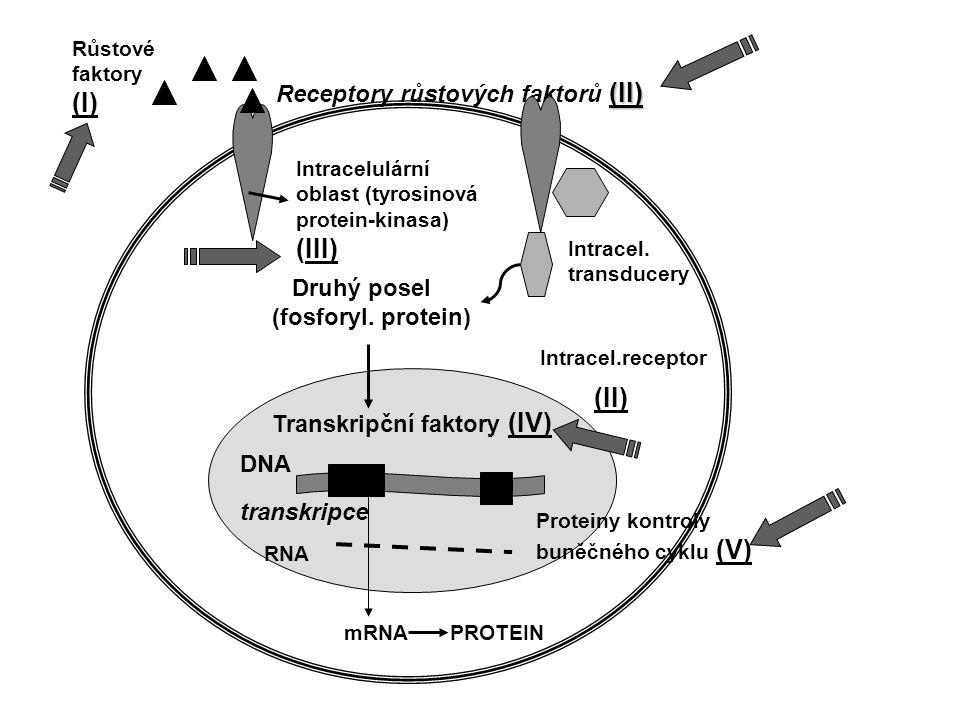 Růstové fakt. PDGF (c-sis) FGF- like (c-int2) Receptory růst.