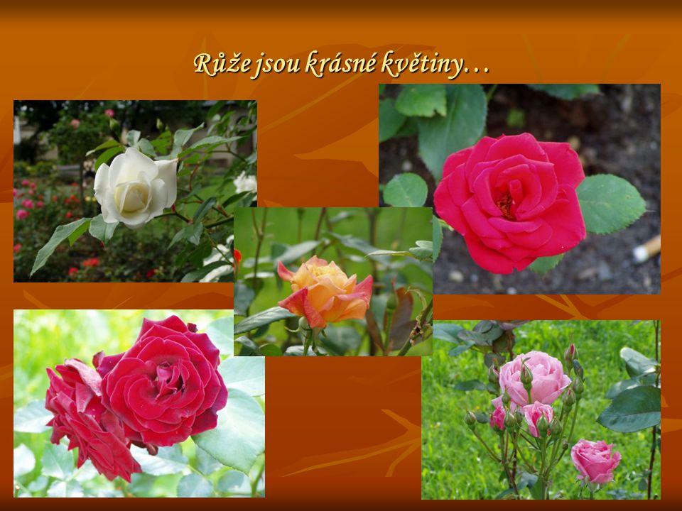 Růže jsou krásné květiny…
