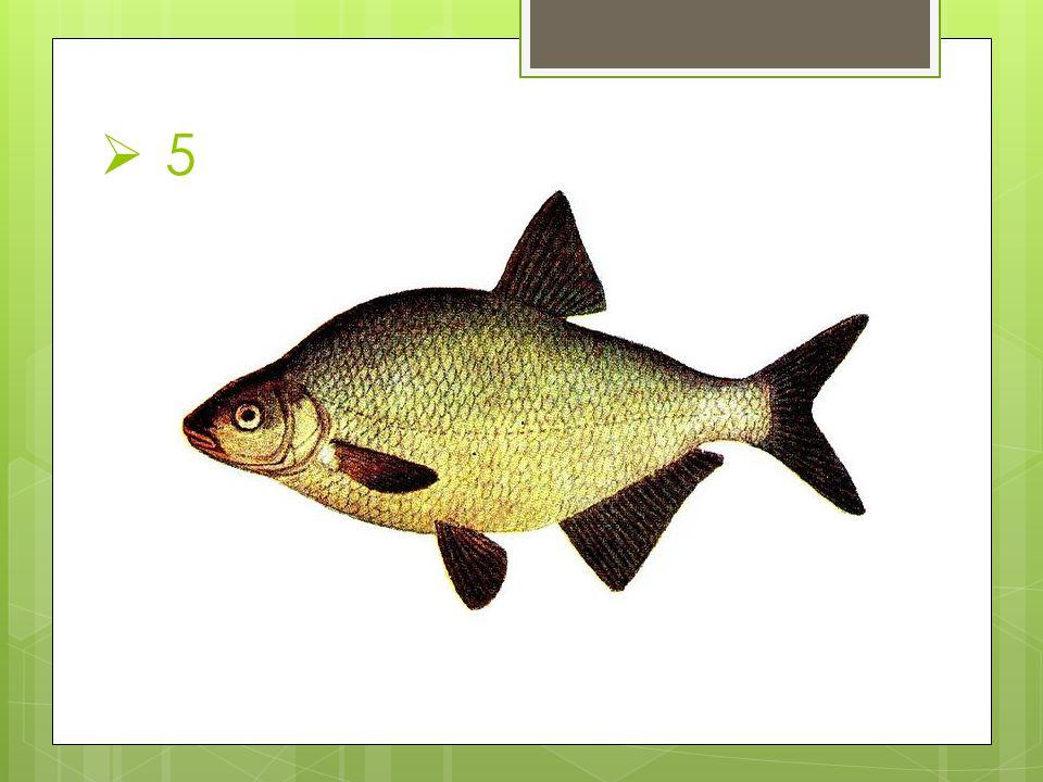 Anotace Poznávání ryb sloužící k motivaci žáků, k procvičení i k opakování probraného učiva.