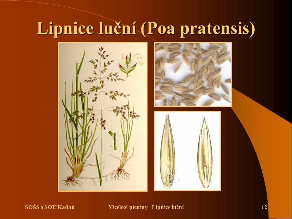 SOŠS a SOU KadaňVíceleté pícniny - Lipnice luční12 Lipnice luční (Poa pratensis)