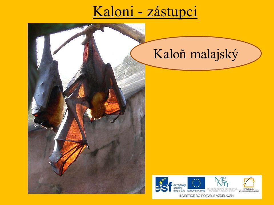 Kaloni - zástupci Kaloň malajský