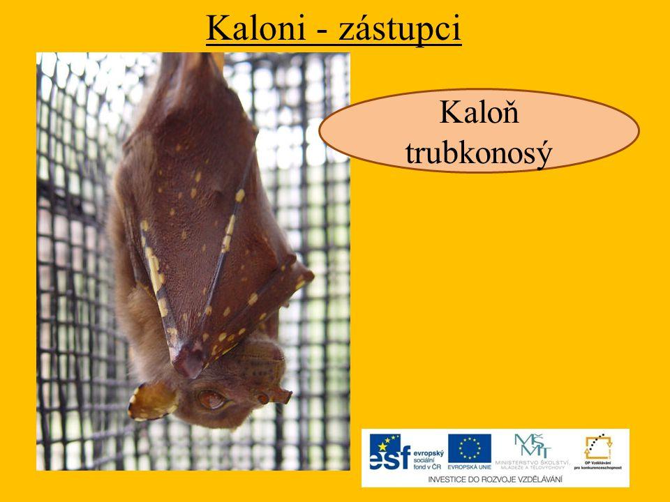 Kaloni - zástupci Kaloň trubkonosý