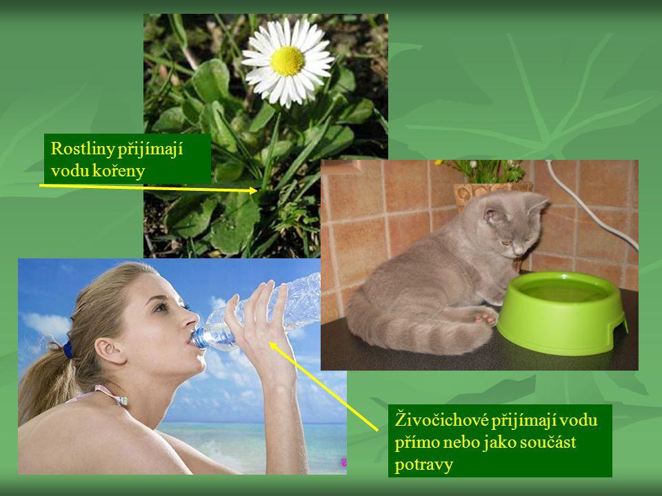 Rostliny přijímají vodu kořeny Živočichové přijímají vodu přímo nebo jako součást potravy