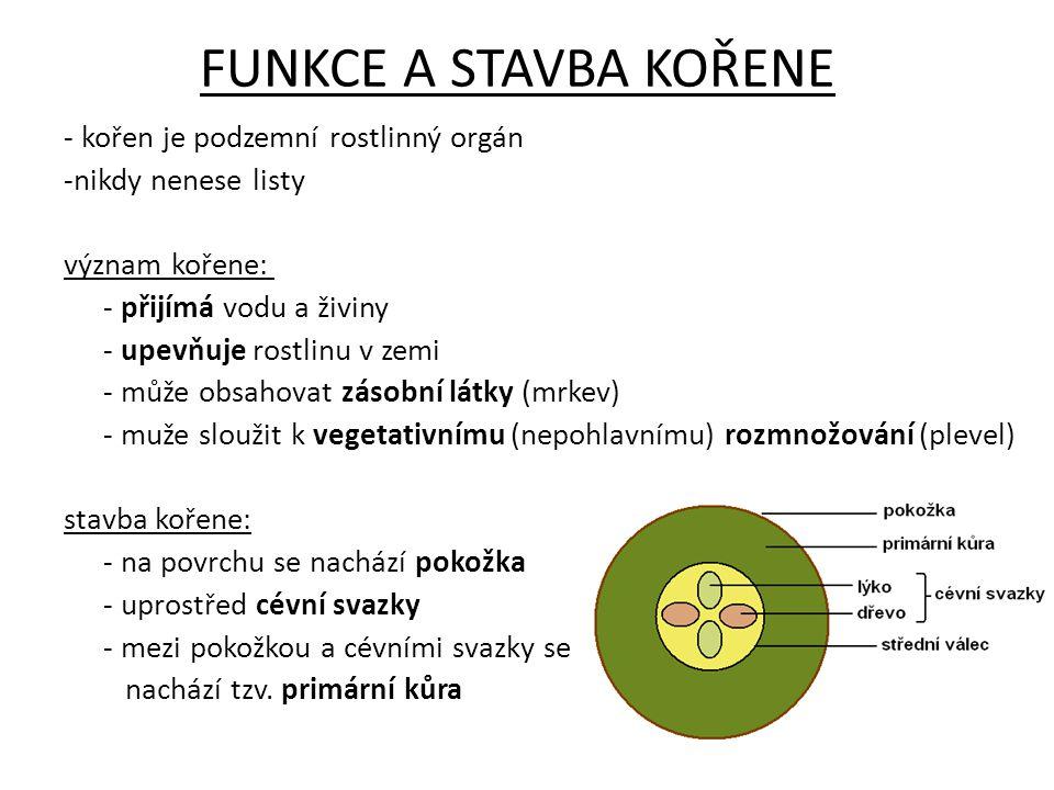 FUNKCE A STAVBA KOŘENE - kořen je podzemní rostlinný orgán -nikdy nenese listy význam kořene: - přijímá vodu a živiny - upevňuje rostlinu v zemi - může obsahovat zásobní látky (mrkev) - muže sloužit k vegetativnímu (nepohlavnímu) rozmnožování (plevel) stavba kořene: - na povrchu se nachází pokožka - uprostřed cévní svazky - mezi pokožkou a cévními svazky se nachází tzv.