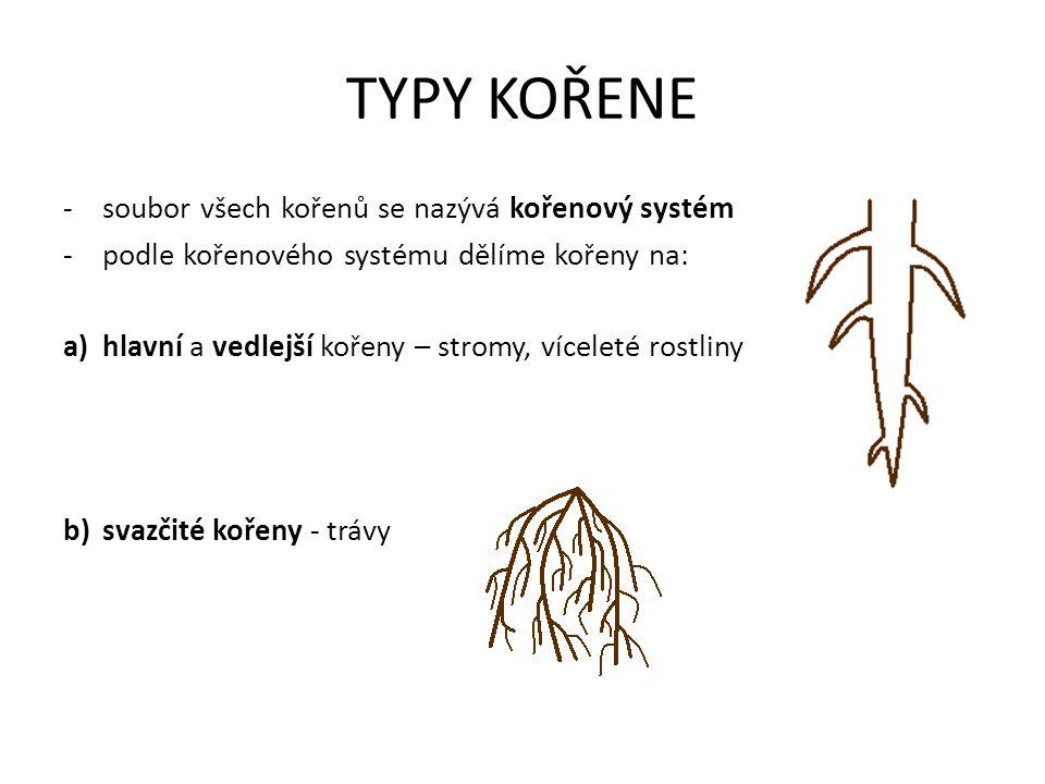 TYPY KOŘENE -soubor všech kořenů se nazývá kořenový systém -podle kořenového systému dělíme kořeny na: a)hlavní a vedlejší kořeny – stromy, víceleté rostliny b)svazčité kořeny - trávy