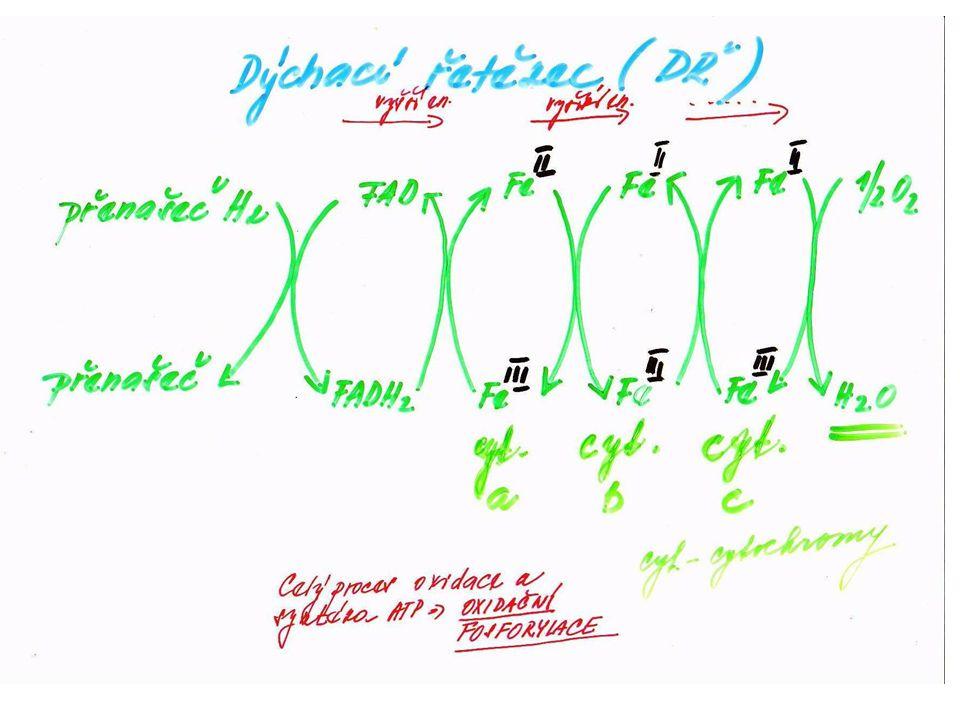 DŘ -elektrony vstupují do DŘ – zaměří se na kyslík, který přemění na ionty O 2-, jež pak reagují s ionty H+ za vzniku H 2 O -hlavní funkce kyslíku: vystupuje jako konečný příjemce elektronů