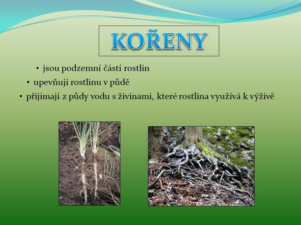jsou podzemní částí rostlin upevňují rostlinu v půdě přijímají z půdy vodu s živinami, které rostlina využívá k výživě