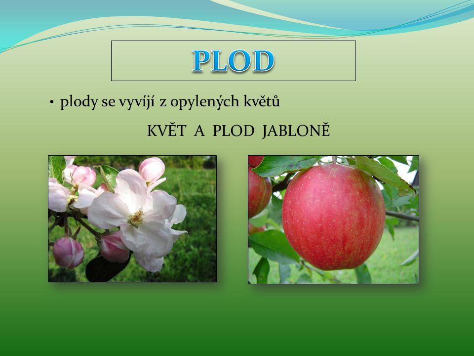 plody se vyvíjí z opylených květů KVĚT A PLOD JABLONĚ
