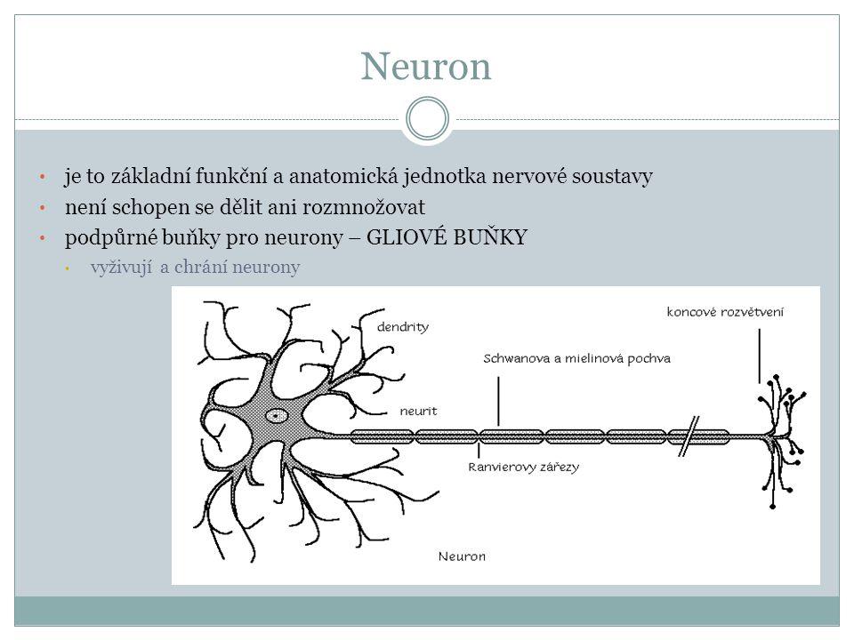 Neuron tělo  rozhoduje o vzniku a šíření vzruchu  ohraničeno plazmatickou membránou  tvořeno neuroplazmou, jádrem a jadérkem výběžky  dendrity  přijímají vzruchy z jiných nervových buněk nebo smyslových buněk  větší počet, kratší, větvené  axon = neurit  vede vzruch od těla neuronu  kryt myelinovou pochvou, která je vytvářena Schwannovými buňkami přerušována Ranvierovými zářezy - urychlují vedení vzruchu