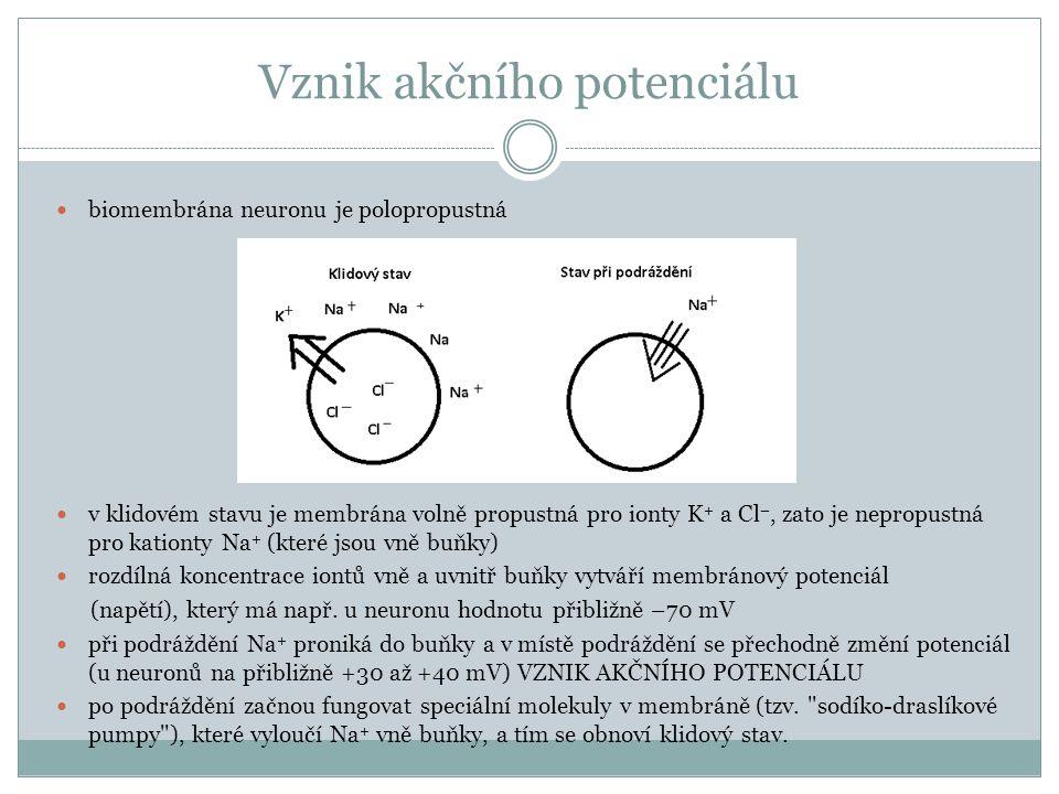 Vznik akčního potenciálu biomembrána neuronu je polopropustná v klidovém stavu je membrána volně propustná pro ionty K + a Cl –, zato je nepropustná p