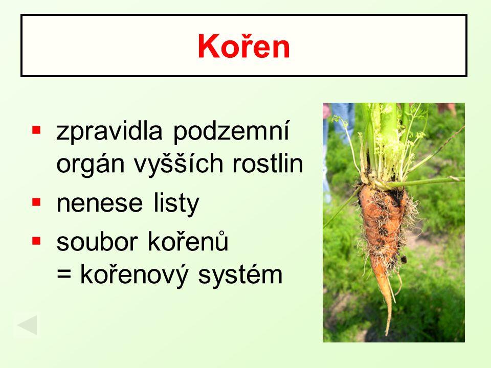  čerpá z půdy vodu a v ní rozpuštěné minerální látky  upevňuje rostlinu v půdě  zásobní funkce  někdy slouží k vegetativnímu rozmnožování rostlin Funkce kořene