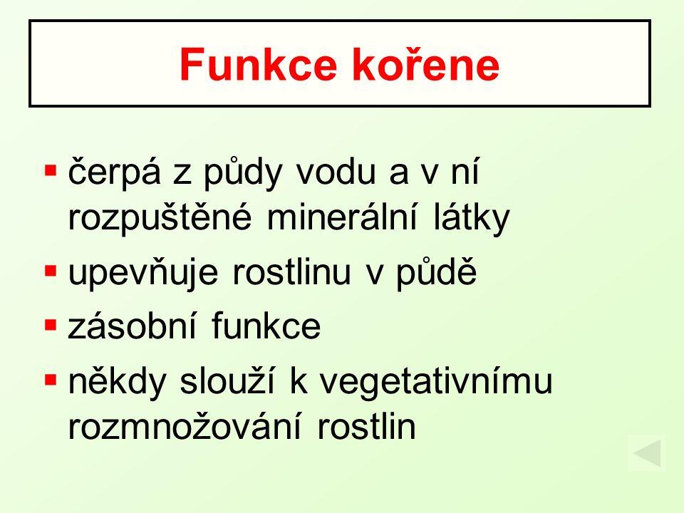 Kořenový systém jednoděložné rostliny dvouděložné rostliny svazčité (náhradní) kořeny hlavní kořen + postranní kořeny