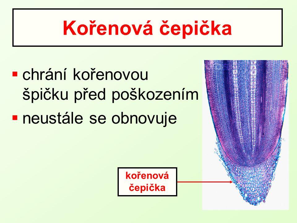 pokožka kořene kořenový vlásek cévní svazek Příjem vody kořenem