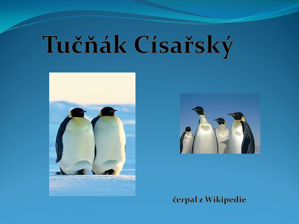 Kde žijí tučňáci Tučňák císařský žije na pobřeží antarktydy Žije na ledových polích Antarktidy a bez problémů snáší třicetistupňové mrazy i ledové vichřice.