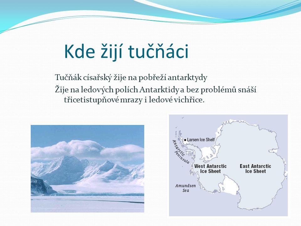 Způsob života Tučňák císařský je společenský druh, který žije v koloniích 20 tisíc tučňáků.