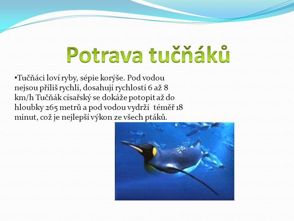 množení u tučňáka Během období rozmnožování přijímají samci potravu jen velmi málo nebo vůbec.