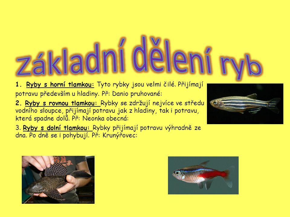 1.Ryby s horní tlamkou: Tyto rybky jsou velmi čilé.