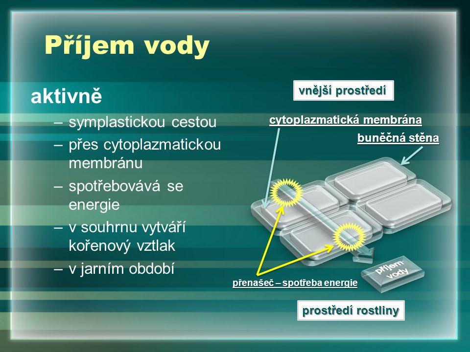 Příjem vody aktivně –symplastickou cestou –přes cytoplazmatickou membránu –spotřebovává se energie –v souhrnu vytváří kořenový vztlak –v jarním období vnější prostředí prostředí rostliny buněčná stěna cytoplazmatická membrána přenašeč – spotřeba energie