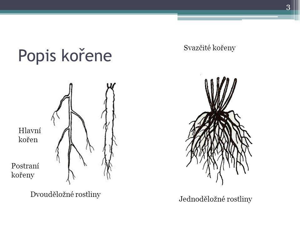 Popis kořene 3 Dvouděložné rostliny Jednoděložné rostliny Hlavní kořen Postraní kořeny Svazčité kořeny