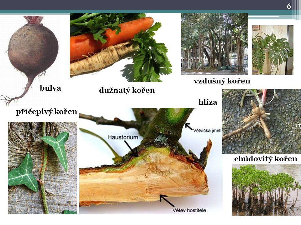 6 vzdušný kořen chůdovitý kořen příčepivý kořen dužnatý kořen bulva hlíza