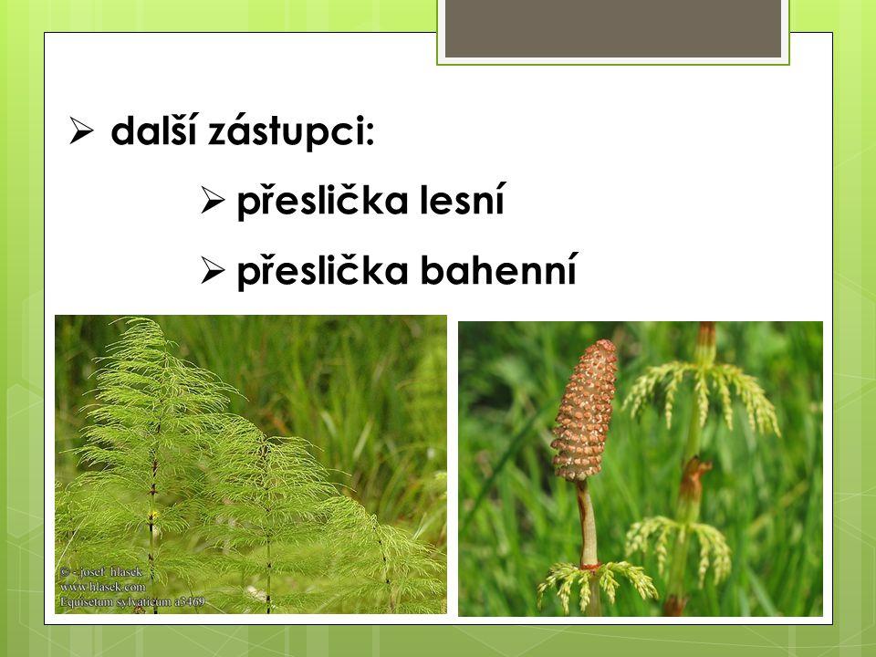 DDÚ:  Která část přesličky rolní se sbírá a jaké má léčivé využití?