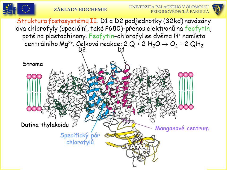 Dutina thylakoidu Stroma Specifický pár chlorofylů Manganové centrum D1D2 Struktura fostosystému II. D1 a D2 podjednotky (32kd) navázány dva chlorofyl