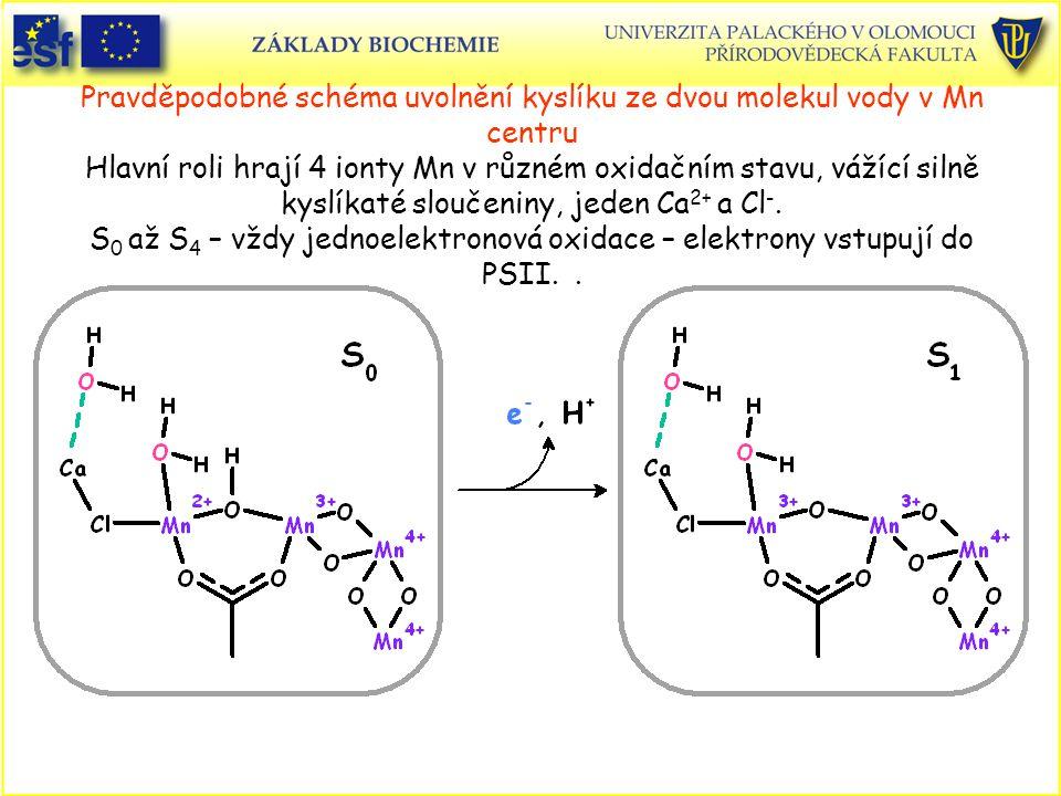 Pravděpodobné schéma uvolnění kyslíku ze dvou molekul vody v Mn centru Hlavní roli hrají 4 ionty Mn v různém oxidačním stavu, vážící silně kyslíkaté s