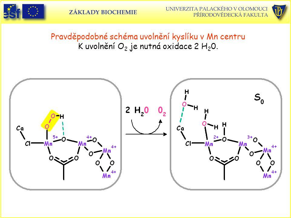 Pravděpodobné schéma uvolnění kyslíku v Mn centru K uvolnění O 2 je nutná oxidace 2 H 2 0.