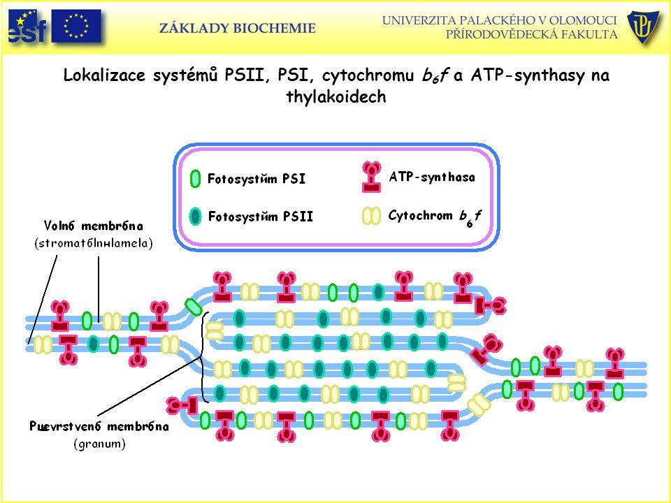 Lokalizace systémů PSII, PSI, cytochromu b 6 f a ATP-synthasy na thylakoidech