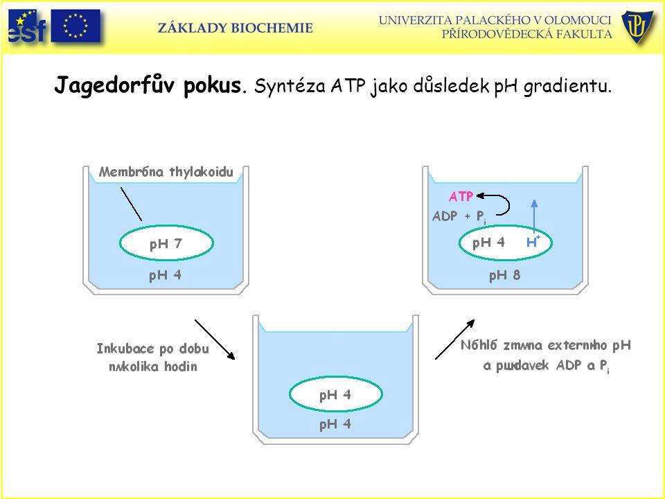 Jagedorfův pokus. Syntéza ATP jako důsledek pH gradientu.