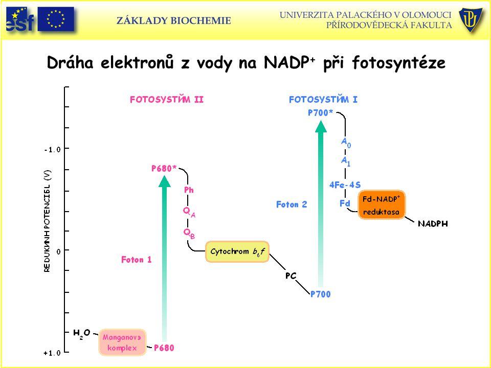 Dráha elektronů z vody na NADP + při fotosyntéze