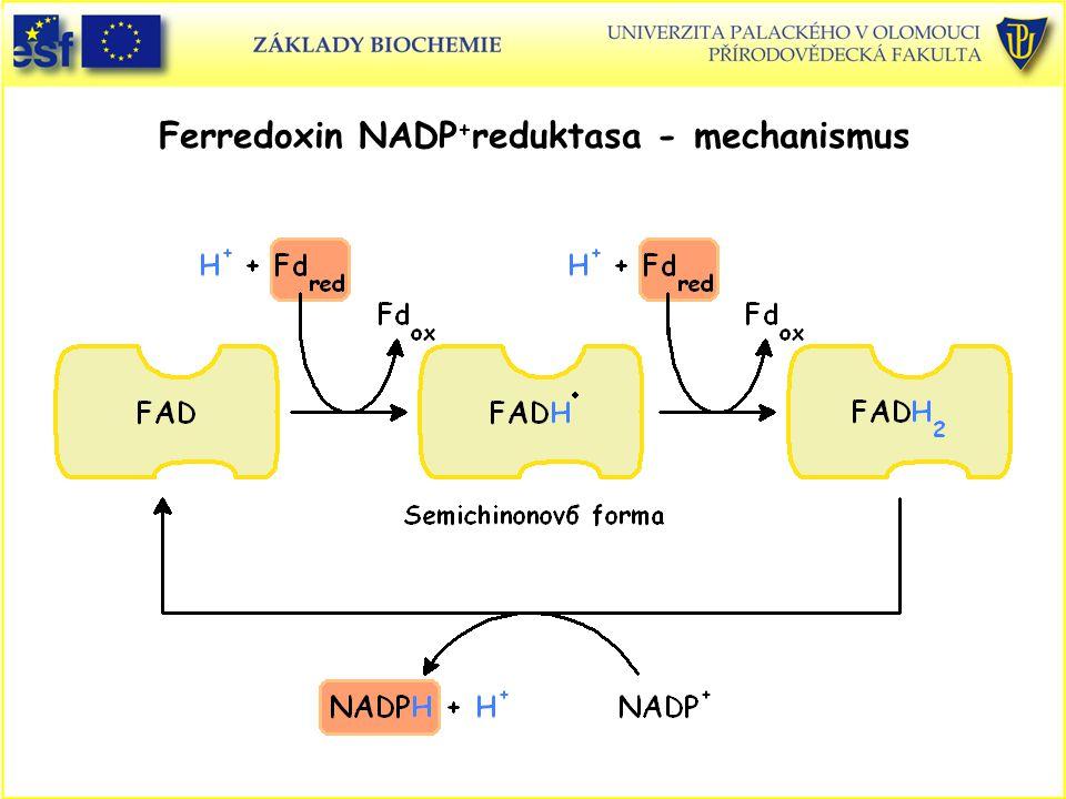 Ferredoxin NADP + reduktasa - mechanismus