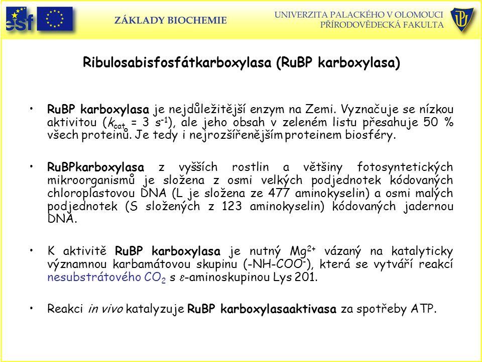 Ribulosabisfosfátkarboxylasa (RuBP karboxylasa) RuBP karboxylasa je nejdůležitější enzym na Zemi. Vyznačuje se nízkou aktivitou (k cat = 3 s -1 ), ale