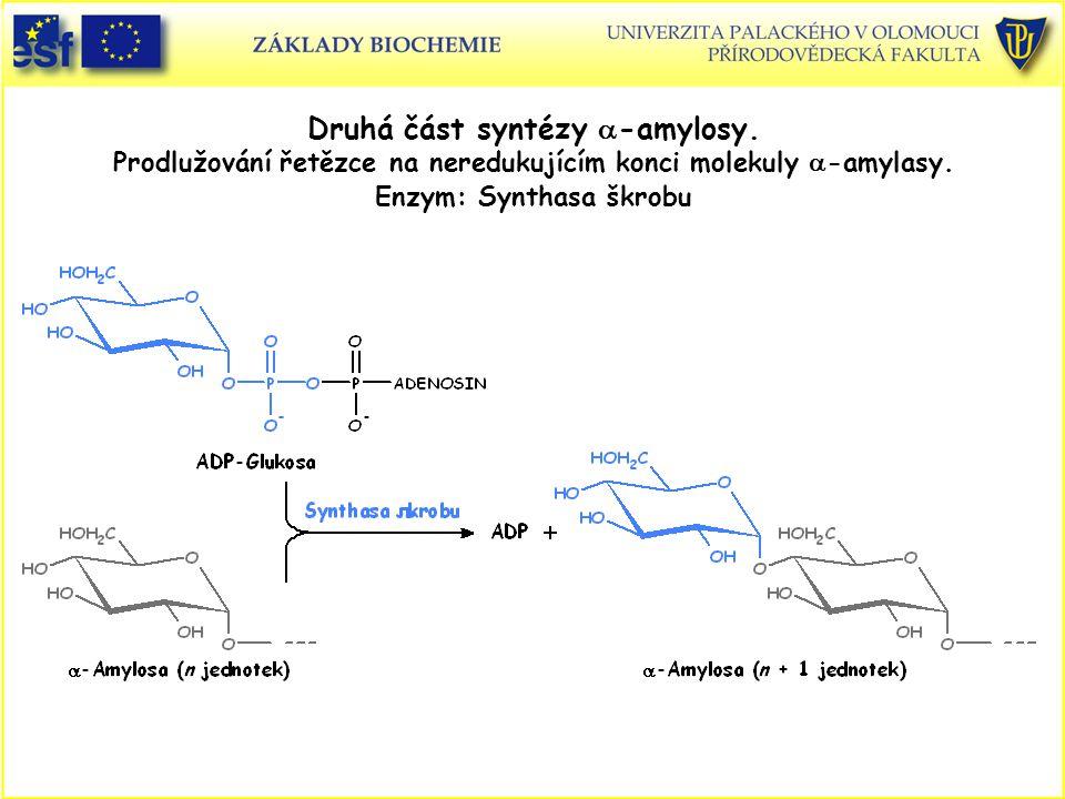 Druhá část syntézy  -amylosy. Prodlužování řetězce na neredukujícím konci molekuly  -amylasy. Enzym: Synthasa škrobu