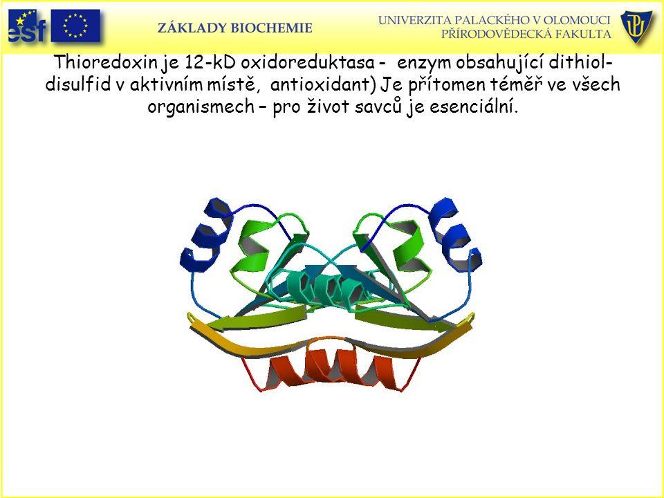 Thioredoxin je 12-kD oxidoreduktasa - enzym obsahující dithiol- disulfid v aktivním místě, antioxidant) Je přítomen téměř ve všech organismech – pro ž