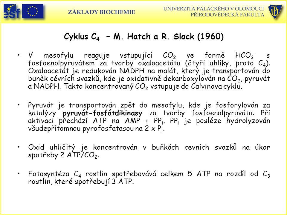 Cyklus C 4 – M. Hatch a R. Slack (1960) V mesofylu reaguje vstupující CO 2 ve formě HCO 3 - s fosfoenolpyruvátem za tvorby oxaloacetátu (čtyři uhlíky,