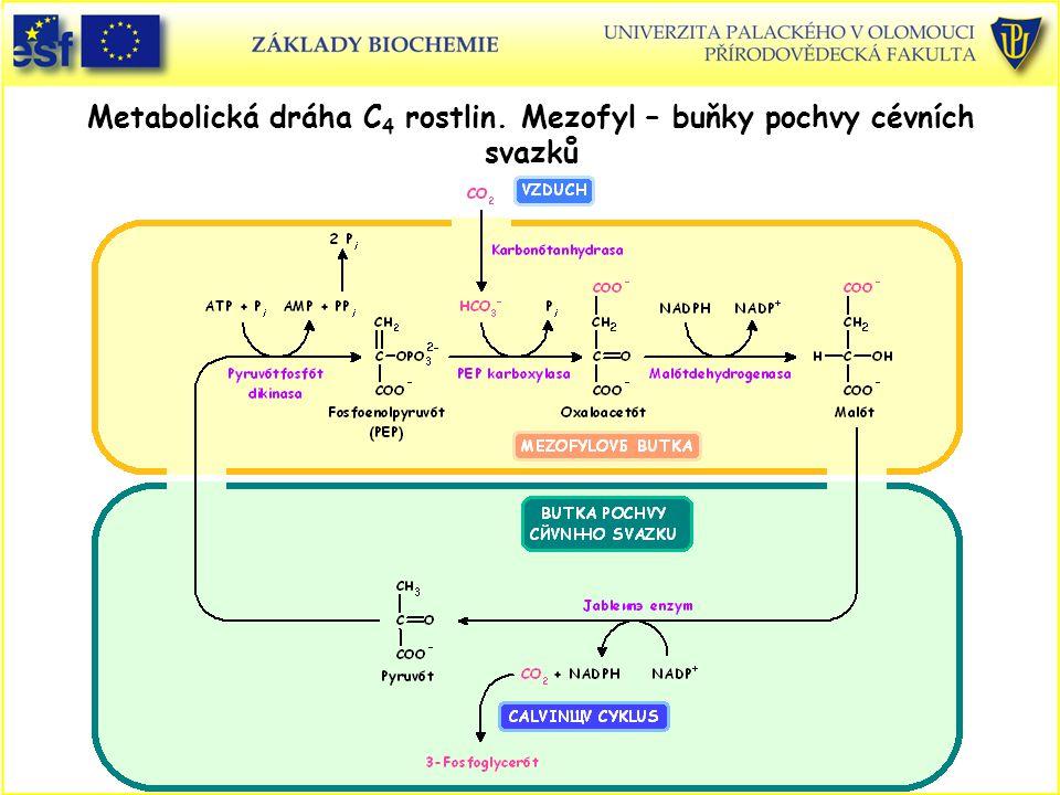 Metabolická dráha C 4 rostlin. Mezofyl – buňky pochvy cévních svazků