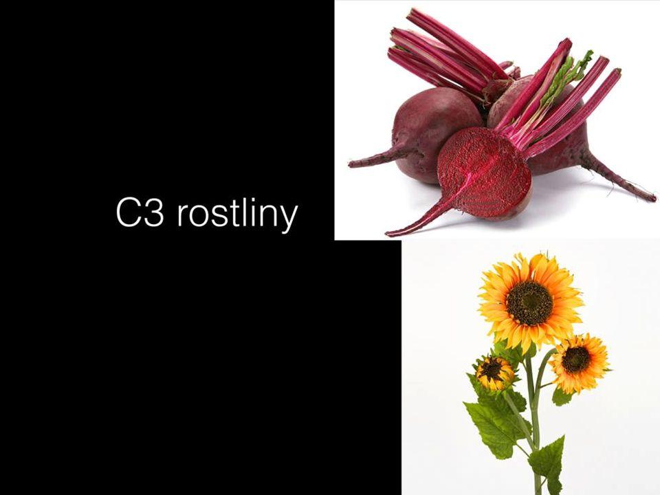 C4 rostliny