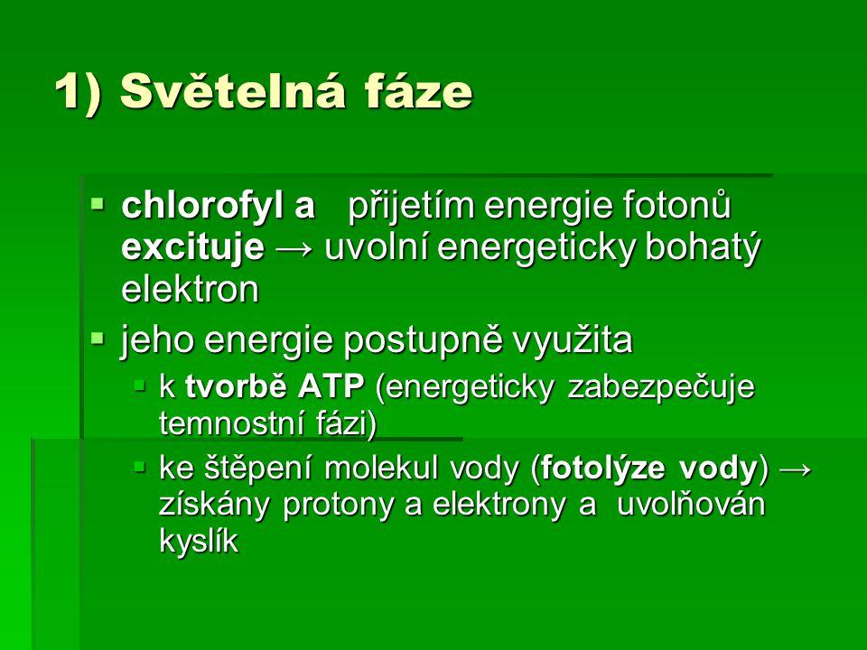 1) Světelná fáze  chlorofyl a přijetím energie fotonů excituje → uvolní energeticky bohatý elektron  jeho energie postupně využita  k tvorbě ATP (e