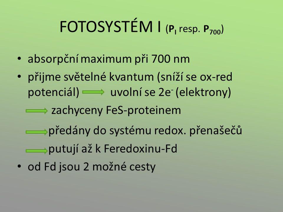 FOTOSYSTÉM I (P I resp. P 700 ) absorpční maximum při 700 nm přijme světelné kvantum (sníží se ox-red potenciál) uvolní se 2e - (elektrony) zachyceny