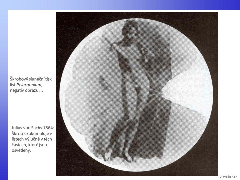 D. Walker 57 Škrobový sluneční tisk list Pelargonium, negativ obrazu... Julius von Sachs 1864: Škrob se akumuluje v listech výlučně v těch částech, kt