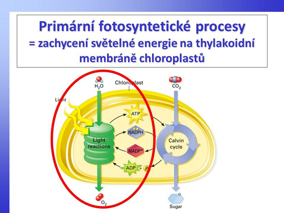 Primární fotosyntetické procesy = zachycení světelné energie na thylakoidní membráně chloroplastů