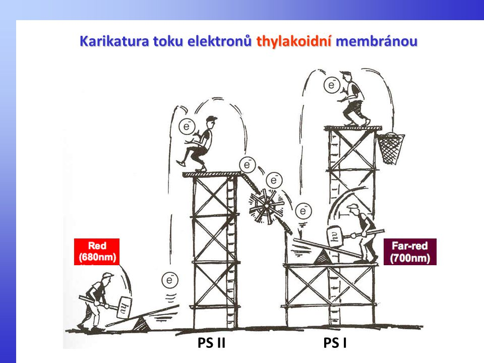 Karikatura toku elektronů thylakoidní membránou PS IIPS I