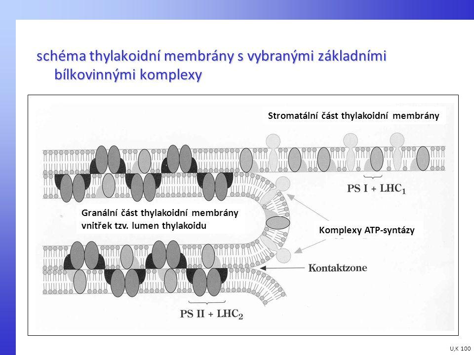 schéma thylakoidní membrány s vybranými základními bílkovinnými komplexy U,K 100 Stromatální část thylakoidní membrány Granální část thylakoidní membr