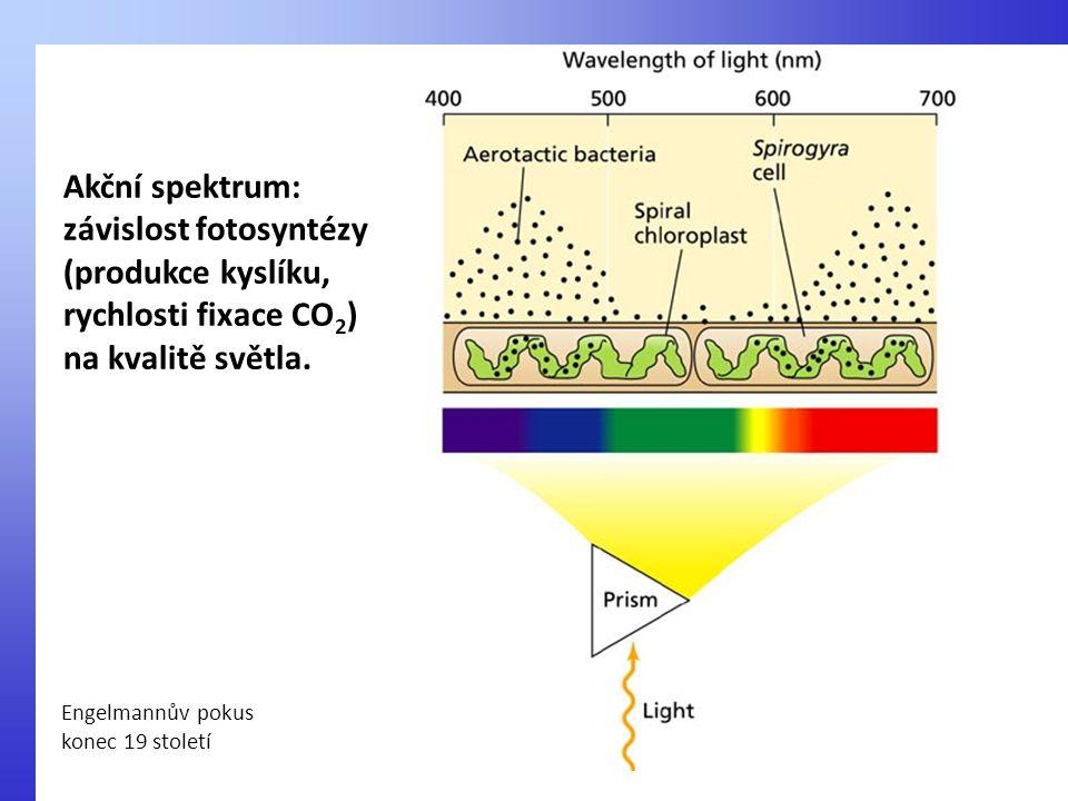 Akční spektrum: závislost fotosyntézy (produkce kyslíku, rychlosti fixace CO 2 ) na kvalitě světla. Engelmannův pokus konec 19 století