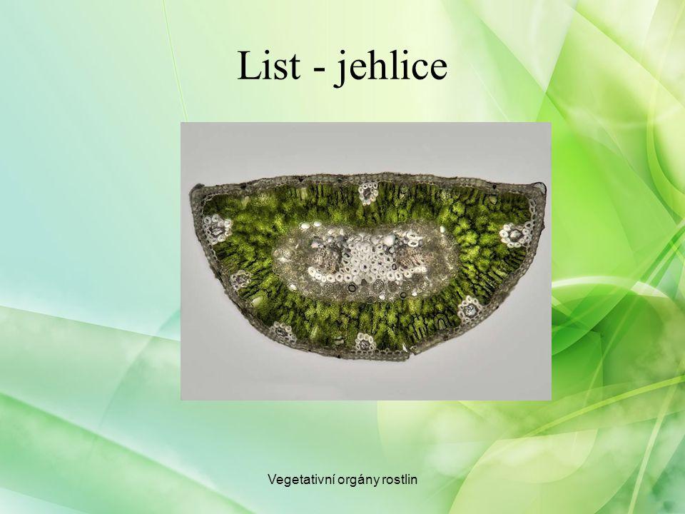 List - jehlice Vegetativní orgány rostlin