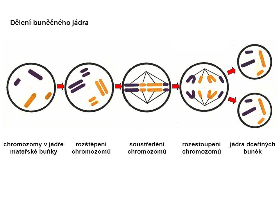 chromozomy v jádře mateřské buňky rozštěpení chromozomů soustředění chromozomů rozestoupení chromozomů jádra dceřiných buněk Dělení buněčného jádra
