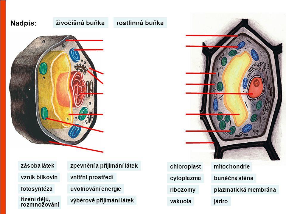 Nadpis: rostlinná buňkaživočišná buňka buněčná stěna chloroplast vakuola jádro ribozomy cytoplazma mitochondrie plazmatická membrána výběrové přijímán
